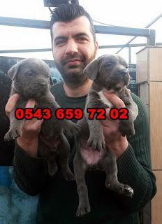satılık yavru köpekler (Pet Station): satılık cane corsa yavruları 0543 659 72 02