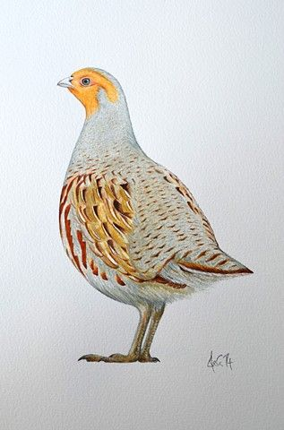 Best A Watercolour Drawing Of A Grey Partridge By Ele Grafton 400 x 300