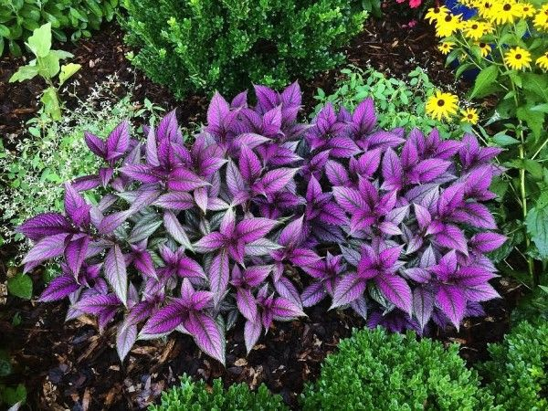 104 best images about plants for my yard zone 9b on for Can you get purple roses