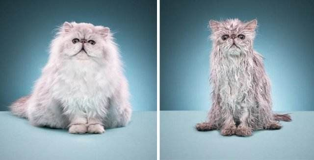 cat before and  after bath