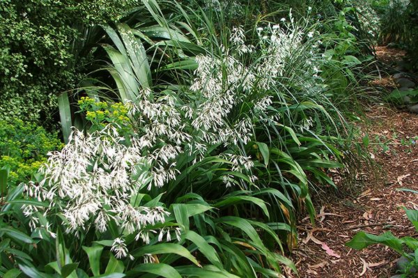 From the planting list: More renga renga lilies. Need to collect seeds and…