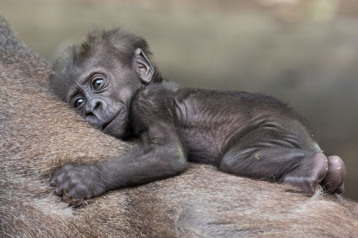"""Frala's little guy now has a name! The newest addition to our growing gorilla family has been named """"Fubumi"""", an African name meaning """"gift of God"""". The two-month-old continues to grow in strength and can often be spotted clinging on tightly to mum's back. Photo by Gemma Ortlipp."""