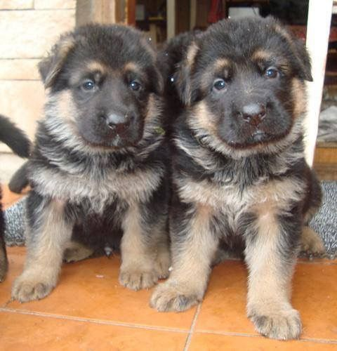 New German Shepherds on the block.