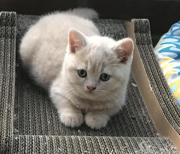 Beautiful Pedigree British Shorthair Kittens For Sale For Sale In Felixstowe Kitten Ads British Shorthair Kittens British Shorthair British Shorthair Cats