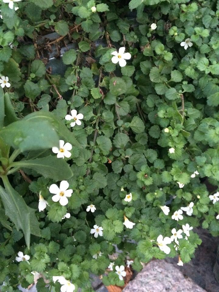 Snöflinga - en perfekt blomma att ha på en norrbalkong. Ofta blommar de ända fram till frosten. Här: foto från Odla i P1
