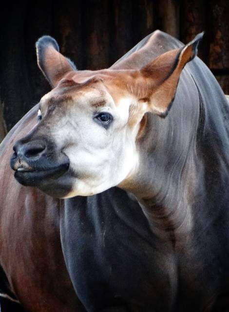 29 Best Okapi Images On Pinterest Okapi Africa And