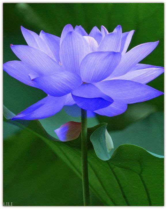 best lilies n lotus n tulips, oh my images on, Beautiful flower