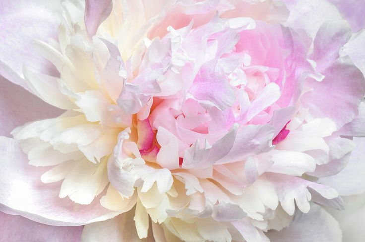 Jane Star Photograph - Vanilla-pink Lace by Jane Star  #JaneStar #Peony #Flower #ArtForHome #InteriorDesign #HomeDecor
