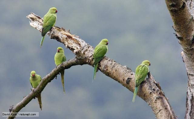Ring-necked parakeets (Psittacula krameri) are the only species of parrot that live wild in the UK. These birds are descended from pets and aviary birds which have escaped or were deliberately released, and now breed in south-east England, although they have been spotted as far afield as Wales and Scotland.