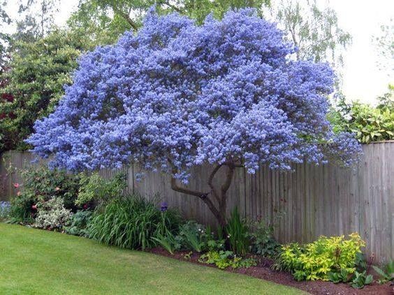 Ceanothus Tree