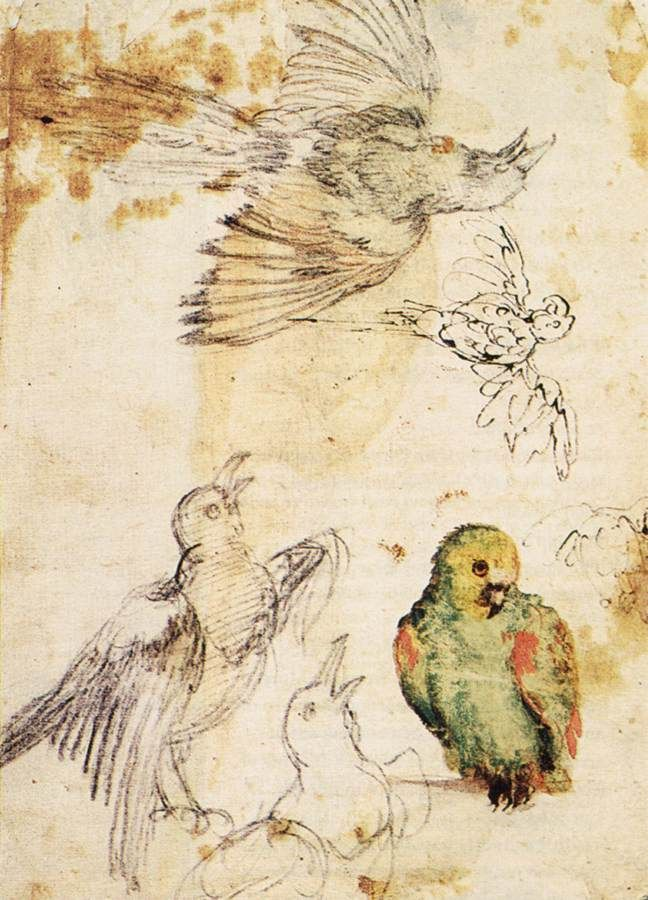 birdcagewalk:  dendroica:Giovanni da Udine (1487–1564)Study of a Parrot and Other Birds, 1515-1520