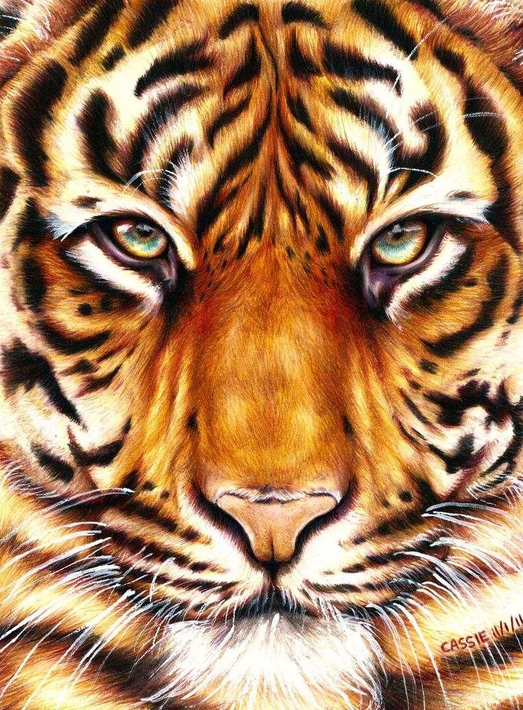 Tiger - Amazing Animal Drawings From Great Pencils