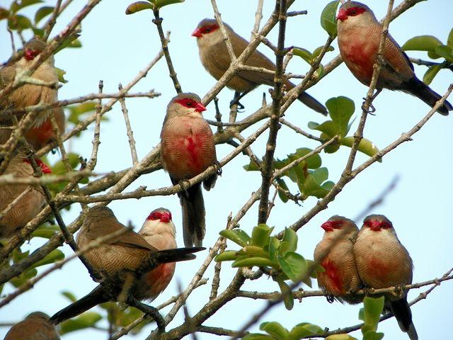 Foto bico-de-lacre (Estrilda astrild) por Valmir Lima | Wiki Aves - A Enciclopédia das Aves do Brasil