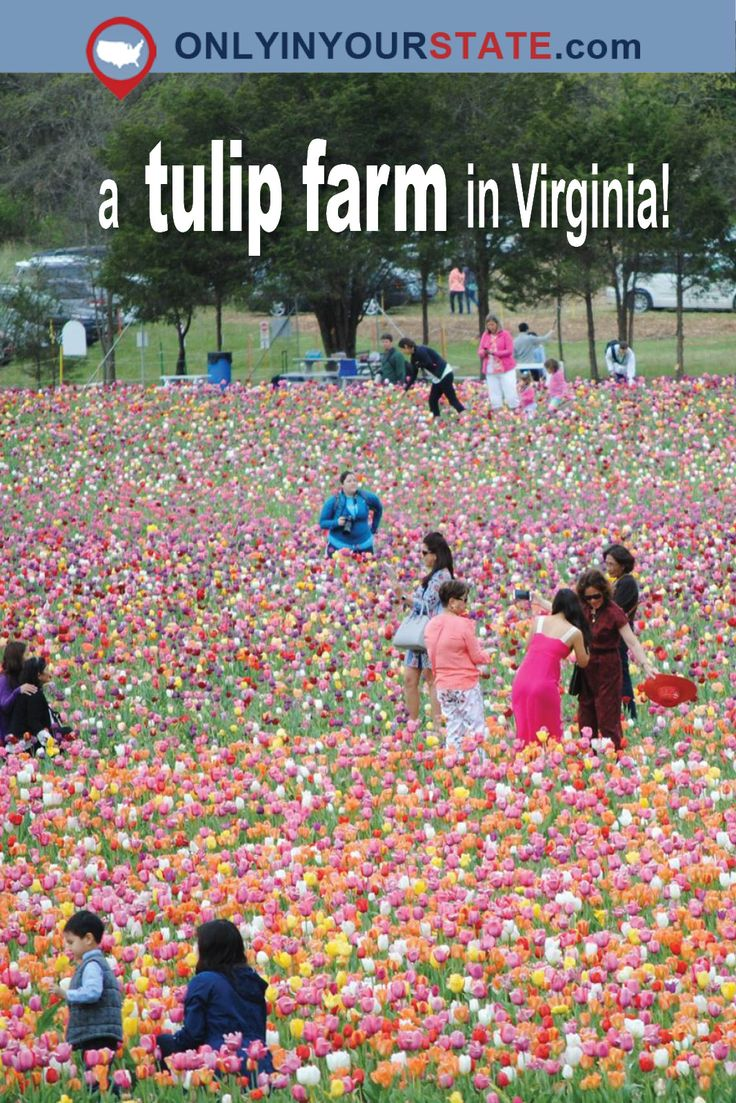 Travel | Virginia | Tulips | Colorful | Springtime | Picturesque | Flower Farm | Places To Go | Hidden Gems | Unique Things To Do | Summertime | Family Friendly