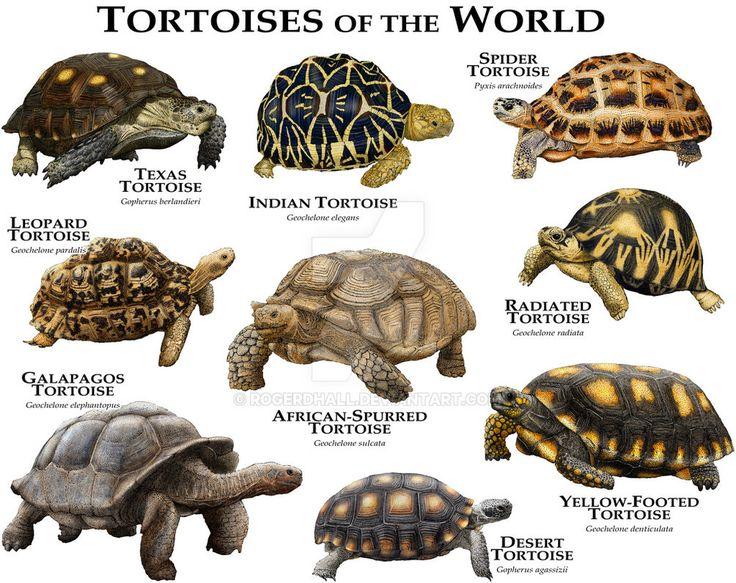 Tortoises of the World by rogerdhall on DeviantArt