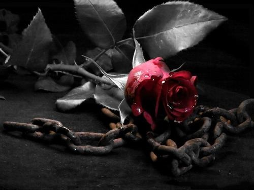 244 Best Images About Gothic Roses On Pinterest