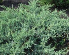 Можжевельник виргинский Хетц Ялівець віргінський Хетц Juniperus virginiana Hetz