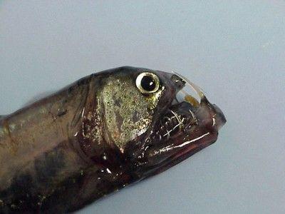 Nem todos os peixes da natureza foram feitos para as crianças acharem bonitinhos e criarem em aquários. Algumas exemplares da fauna marinha têm corpos e caras realmente amedrontadores. Confira