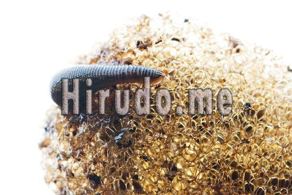 11 Hirudo medical Leech therapy hugo Live Medicinal Leeches Worm Bloodsucker #Medicinalleeches