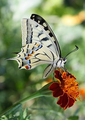 Machaon ou Grand porte-queue - Papilio machaon