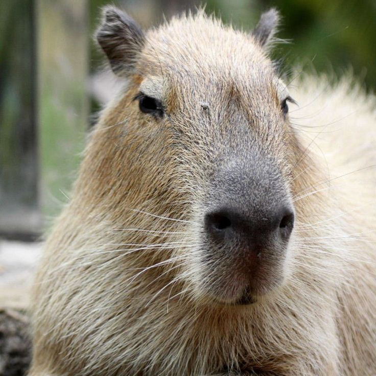 Capybara capybara tame animals pig waterer