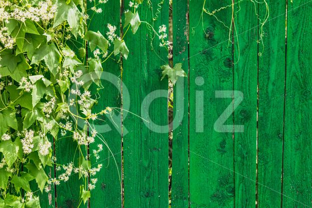 Qdiz Stock Photos | Green wooden fence and plant,  #abstract #backdrop #background #board #bred #carpentry #chipboard #clapboard #color #construction #decor #desk #dirty #fence #flowers #green #hardwood #leaves #ligneous #material #nature #oak #obsolete #panel #parallel #pattern #pine #plank #plant #rough #striped #surface #table #textured #timber #timbered #vertical #wall #weathered #wood #wooden