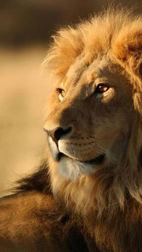 Resultado De Imagen Para Lion Wallpaper Tumblr