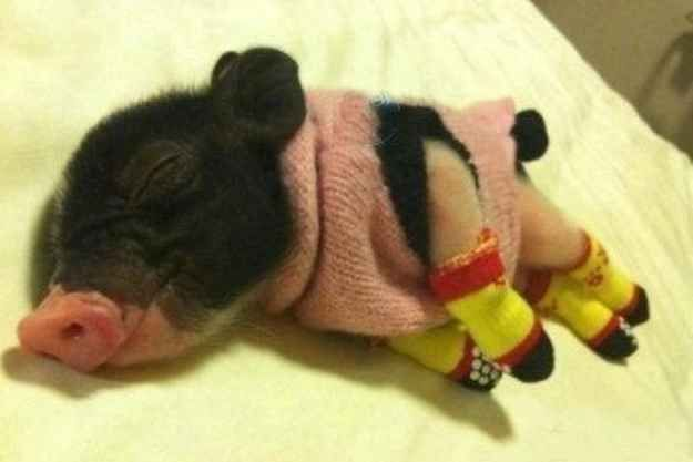 Not a piglet in a blanket but a PIGLET WITH A SWEATER AND CUTE SOCKS!   27 Tiny Animals That Will Warm Your Heart Today