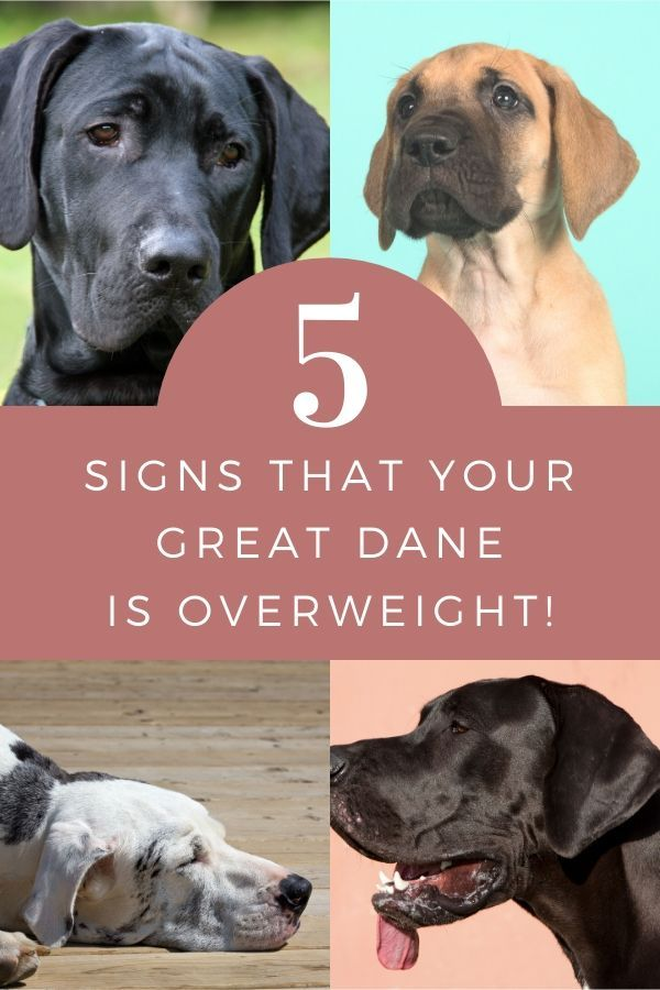 Is My Great Dane Overweight Great Dane Weight Overweight Dog Great Dane