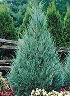 17 Best Images About Arborvitae On Pinterest Sun Shrubs