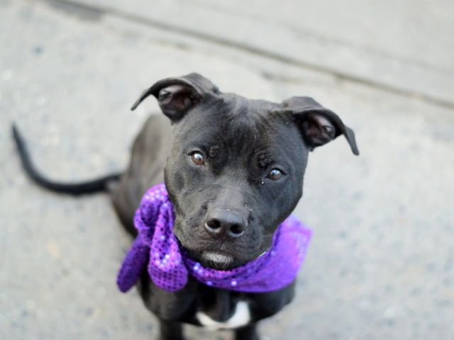 APRICOT - A1097255 - - Brooklyn  Please Share:TO BE DESTROYED 11/28/16: ****PUBLIC ADOPTABLE**** A volunteer writes: You may be wondering why this gorgeous jet black little girl has a name like Apricot, but if you meet her it makes perfect sense. She is as sweet and delicious as a peach, but in an itty bitty little package, just like an apricot. She's energetic, but easy on the leash and super treat-motivated. She sits politely for goodies, often with one paw up. So c