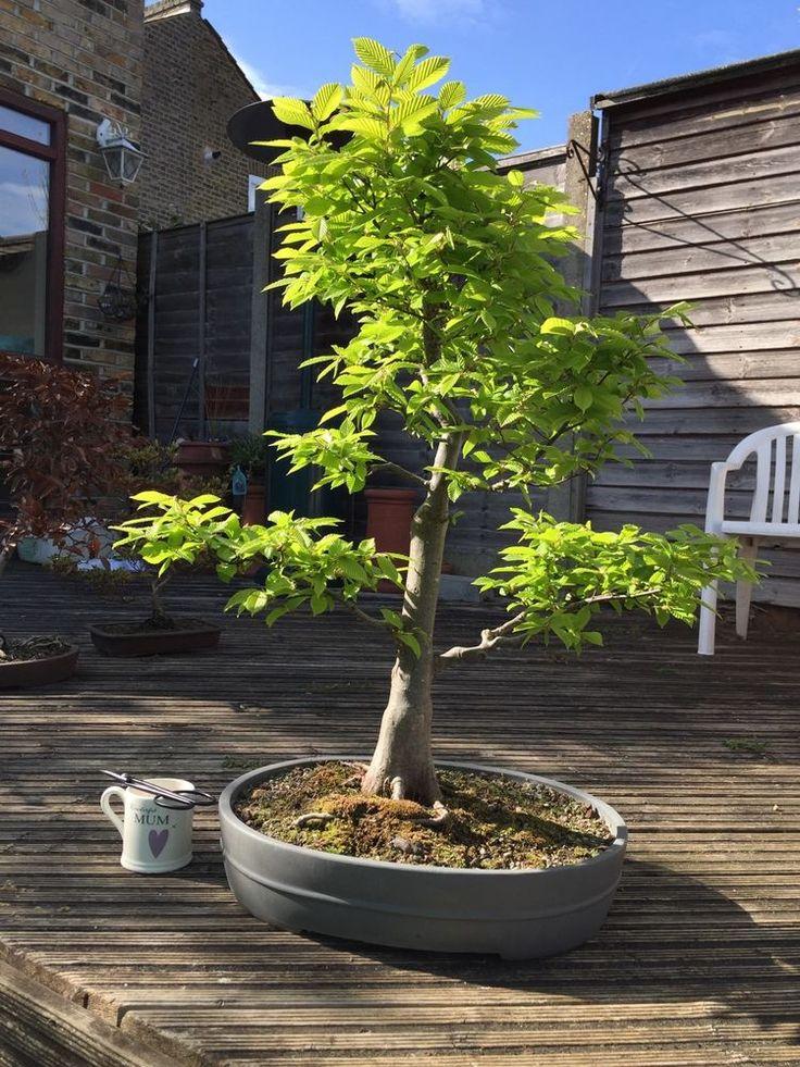 Hornbeam Bonsai Specimen Tree Reduced To Sell in Garden & Patio, Plants…
