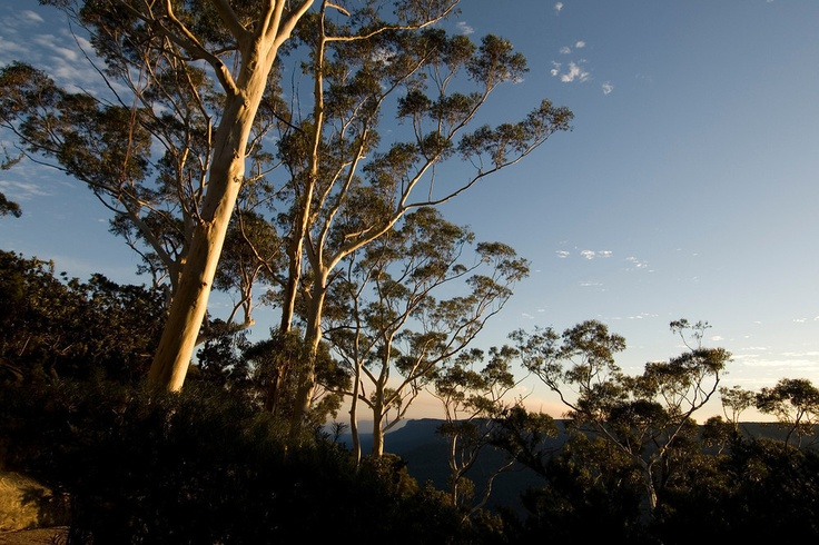 Eucalyptus trees at sunset, Blue Mountain National Park, Australia. The Blue Mountains are about 2 hours drive West from Sydney, and have some of the best maintained walking tracks in the country. Easily accessible.