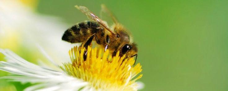 Is hooikoorts echt zo makkelijk te verhelpen met bijenpollen?