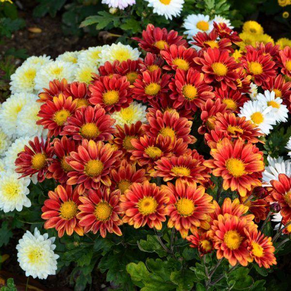 Bunter Herbst Im Garten Maschinenring Oberosterreich Blog Herbstpflanzen Garten Besenheide