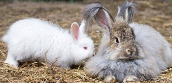 Sign the petition! - Support End to Cruel Angora Operations Abusive to Animals