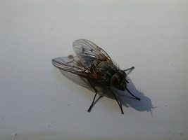 Kill Flies in Your Home