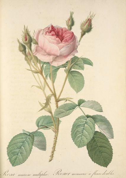 Botanical Illustration of Pierre Joseph Redoute
