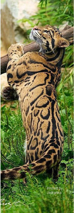 Big cat, possibly a Cloud Leopard?<<yup, definitely a clouded leopard      they're beautiful!
