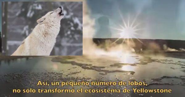 Cómo+los+lobos+son+capaces+de+cambiar+el+curso+del+río