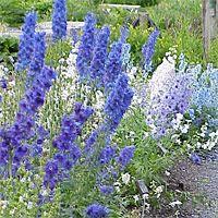 Delphinium plant care guide...: Gardens Ideas, Gardens Association, Water Plants, Flowers Gardens Outdoor, Front Yard, Cut Gardens, Shades Perennials, Plants Care, Gardens Plants