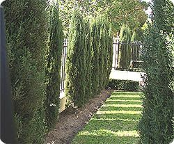 Glauca Pencil Pines - Hello Hello Plants & Garden Supplies