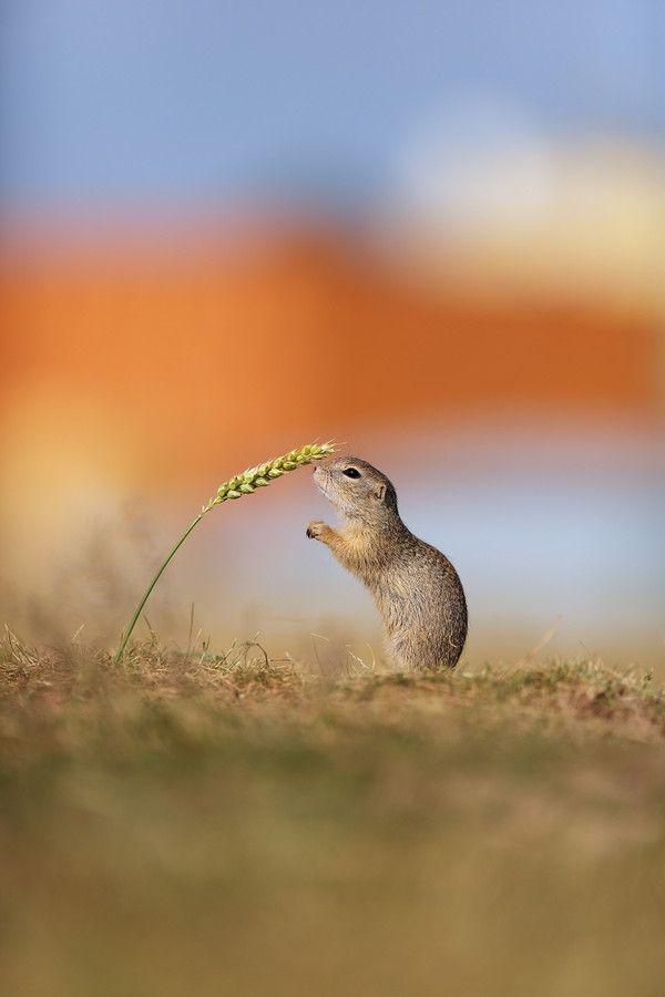 European Ground Squirrel by Michal Jirouš on 500px