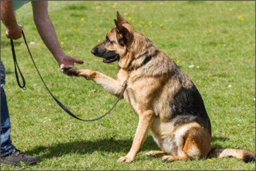 German-shepherd Dog Price: Buy KCI Registered German