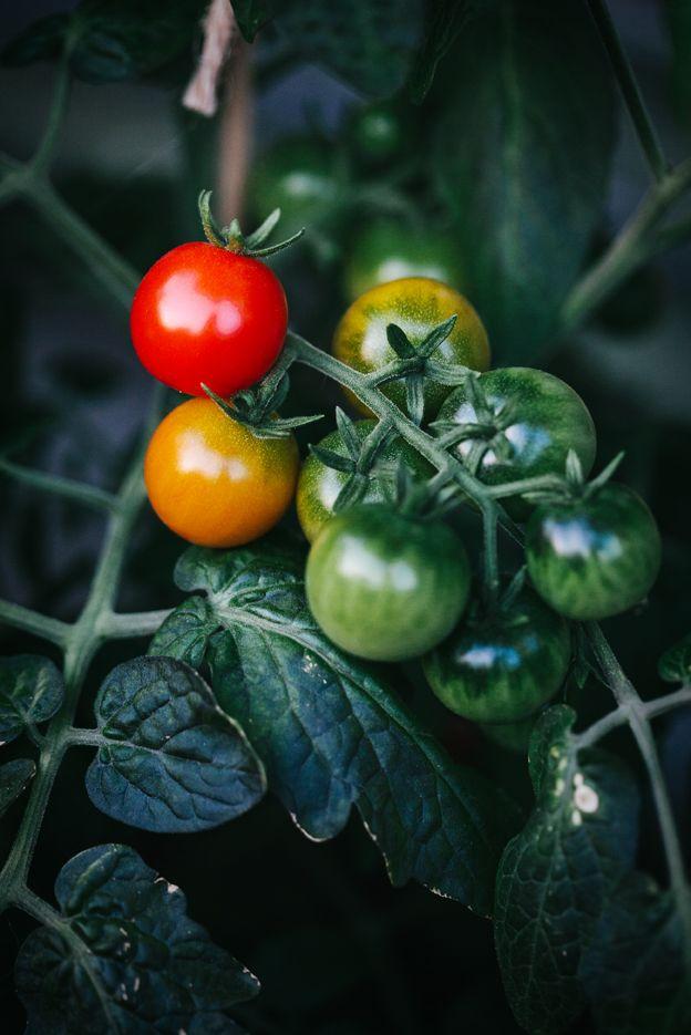 Mina första tomater! | Linda Lomelino | Amelia bloggar