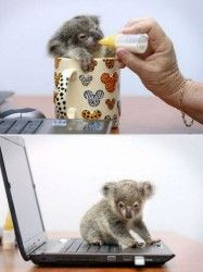Provate a immaginare di avere un cucciolo di koala a casa immaginidivertenti.org