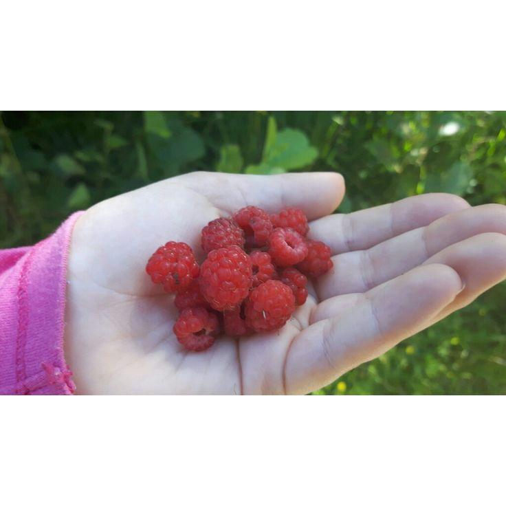Ville bringebær, wild raspberries - zero waste summer💚