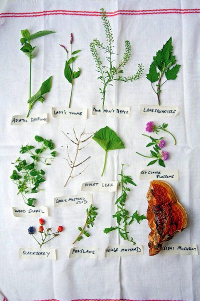 Joys of Foraging - Edible Wild Free Food || Photos, descriptions + uses for many common and easy-to-identify wild edibles || by Deep Roots at Home