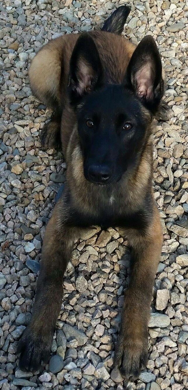 Belgian Malinois....pretty dog :)                                                                                                                                                                                 More
