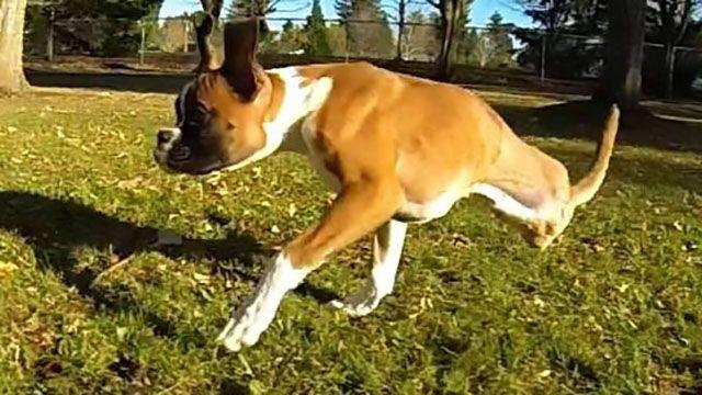 Teneri cuccioli Notizie: Duncan Lou Who, la corsa del cane a due zampe che ...